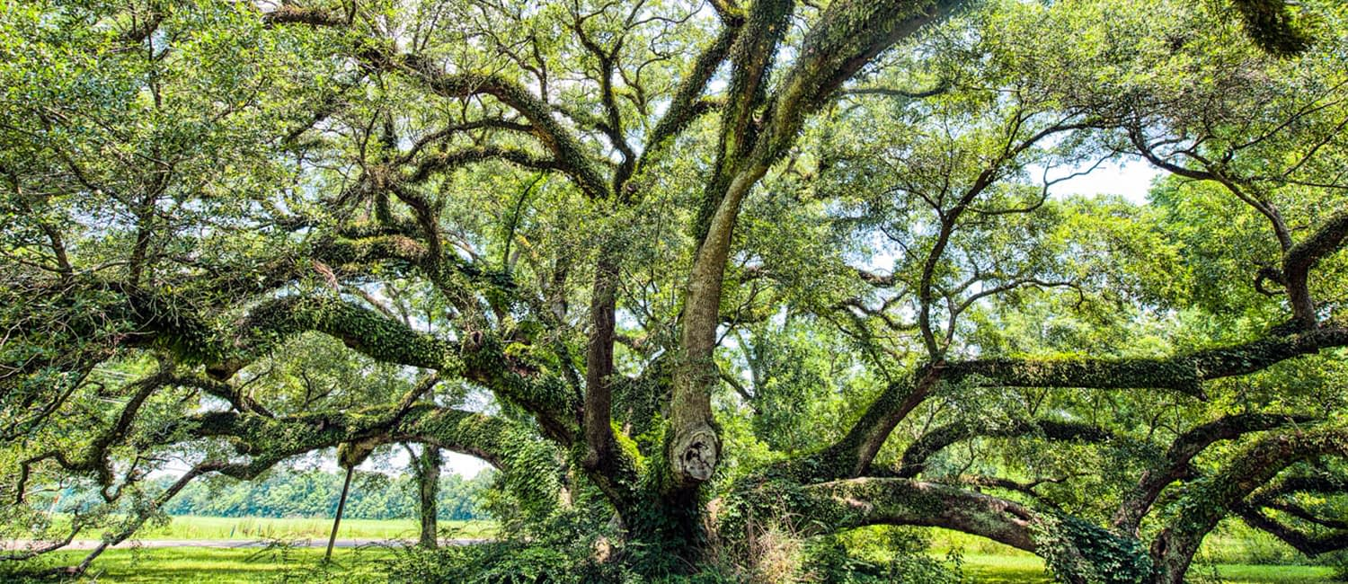 large live oak tree